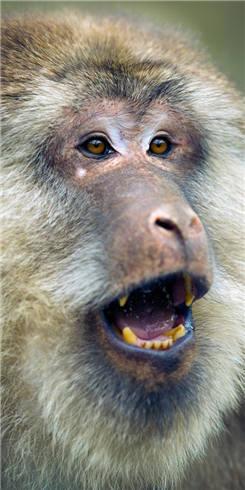 鞍子河野生动物之美:藏酋猴'猴王'带众高歌