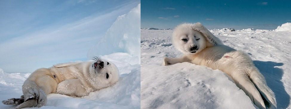 德摄影师抓拍呆萌小海豹顽皮摆造型