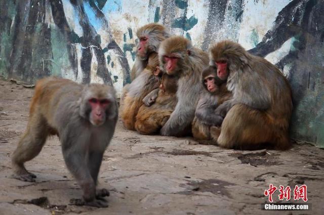 1月20日,生活在南京红山森林动物园内的猴子们抱在一起抵御寒潮.