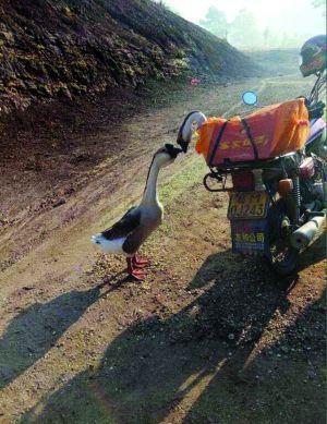 两鹅别离前亲吻成网红 朋友圈刷屏多个版本大结局网友共鸣