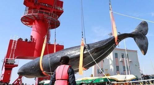两抹香鲸搁浅灭亡_一条被打捞另一条视潮汛情况而定_大香蕉新闻乐点彩票大发不时彩