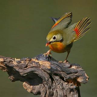 相思鸟春日觅食生机盎然