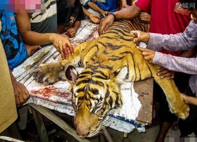 农民宰杀老虎吃肉 农民不知道食用老虎肉已经触及法律