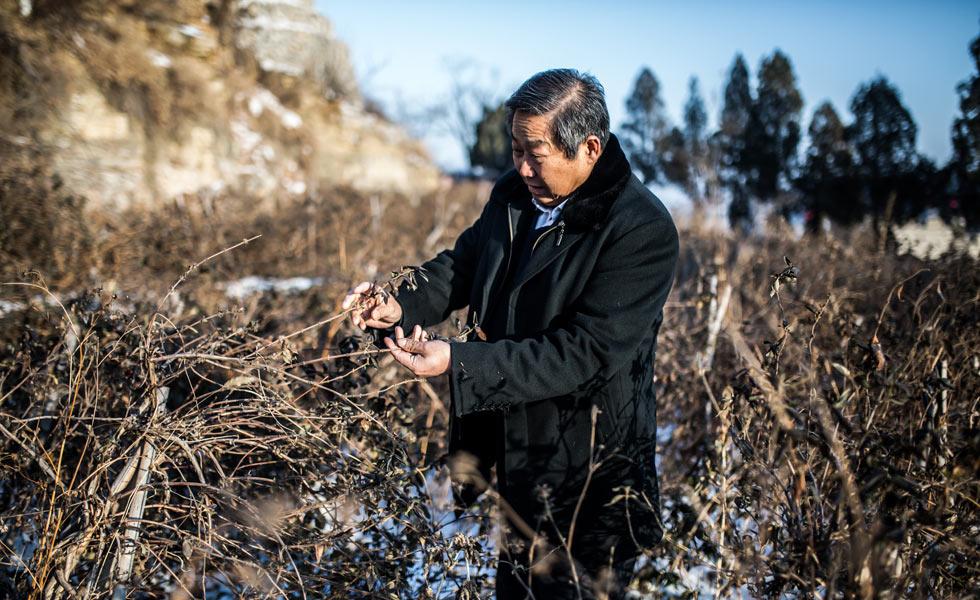 山东省人大代表刘嘉坤:九间棚的金银花 带领致富的山东汉[组图]