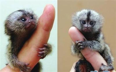 中国猴子种类_世界最小猴子降生_ 视频中国