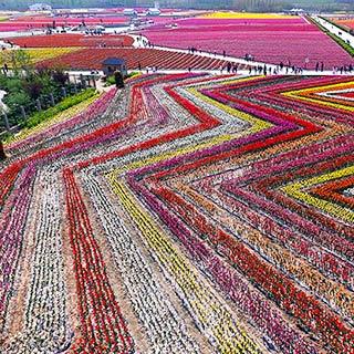 """河南""""中原小荷兰""""千亩郁金香绽放 航拍似彩色地毯[组图]"""