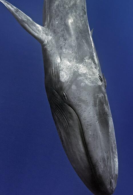 摄影师潜水遇蓝鲸与蓝鲸同游 蓝鲸是世界上最大哺乳动物