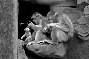 """全球最珍贵金丝猴生下""""二胎"""" 是个""""小公主"""""""