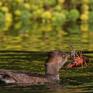 美国加州雌鸭吞食小龙虾惊人瞬间[组图]