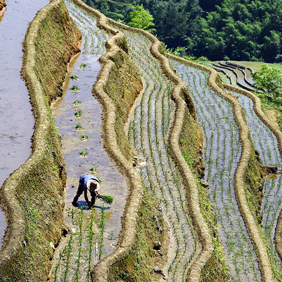江西遂川:芒种将至插秧忙