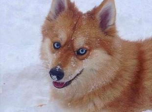 美国费城一狗狗因酷似狐狸网上走红