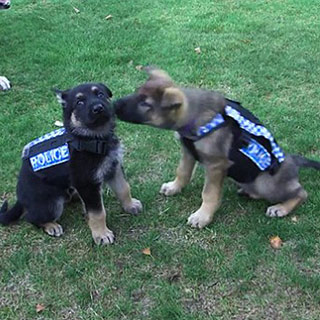 萌翻了!警犬试穿新款防刺背心 只因防弹盔甲太笨重[组图]