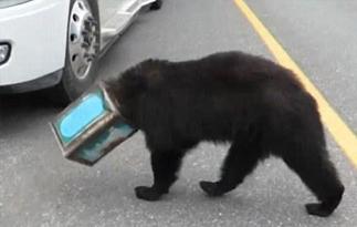 头戴咖啡罐,一只熊闯进了高速公路