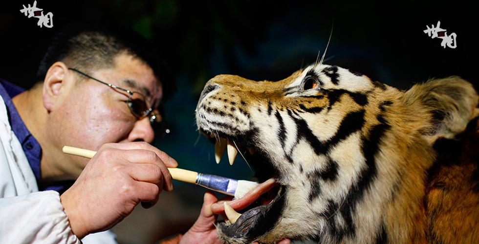 【世相】大国工匠之动物标本剥制师