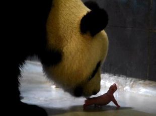 """中央赠澳大熊猫""""心心""""产下双胞胎"""