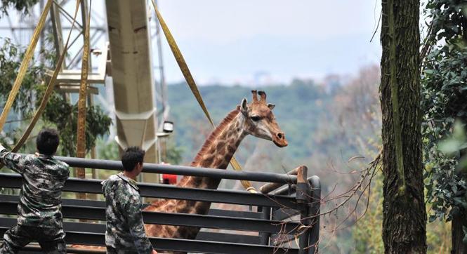 """云南用吊车为长颈鹿搬新家 """"个高胆小""""真不易"""