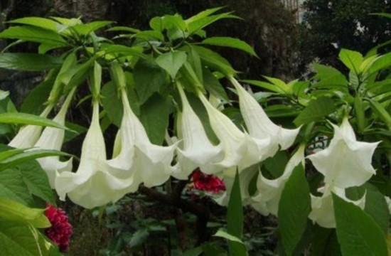 小区种剧毒曼陀罗 漂亮花朵全身带毒