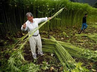 探访日本最大合法大麻农场 用来做传统服饰