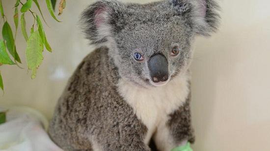 澳大利亚/这只考拉两眼颜色不同。图片来源:SBS