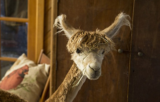 美国羊驼潮装打扮动作滑稽引网友围观
