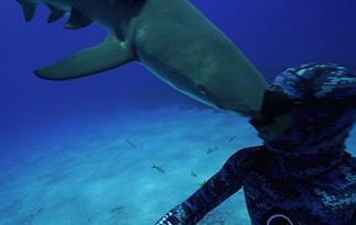 柠檬鲨误撞潜水员罕见视频蹿红网络