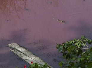 """湖水被倒猪血变""""血湖"""" 引来300只食人鳄"""