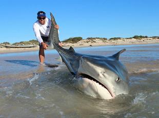澳垂钓者徒手钓鲨鱼 称逗鲨鱼如逗小狗