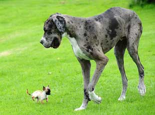 世界最高狗邂逅英国最小狗 相映成趣