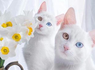 双胞胎白猫双瞳异色圈粉无数