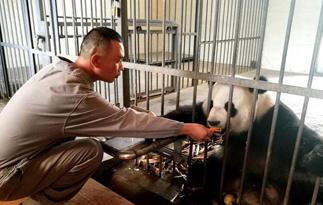 探访四川华蓥山大熊猫野化放归培训基地