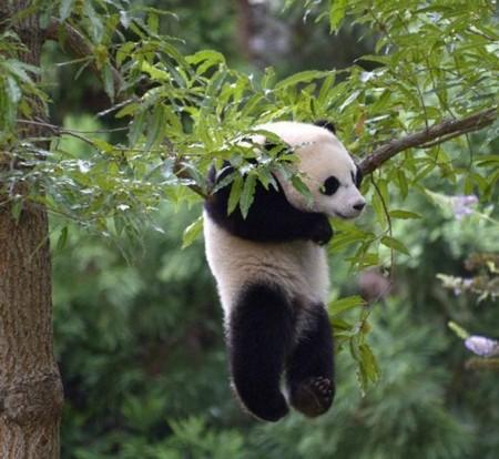 华盛顿动物园为大熊猫贝贝举行抓周仪式