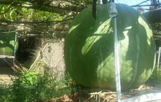 温州老人种出5颗巨无霸南瓜 最大瓜围1.67米