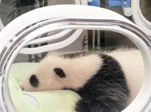 """上海大熊猫基地首只宝宝""""满月"""""""