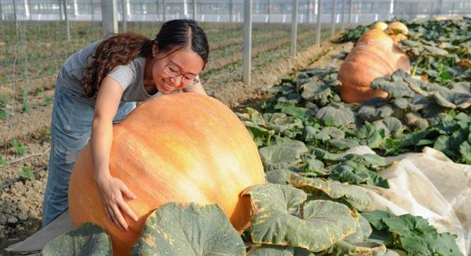 贵州开阳现300多斤巨型南瓜 果农致富