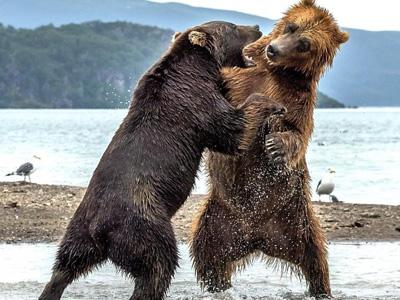 游客抓拍两熊激烈对打