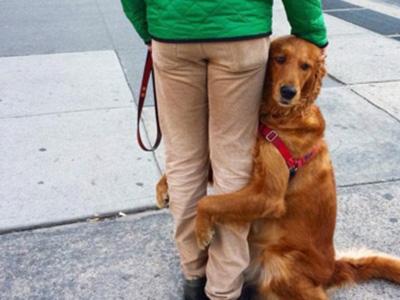 美金毛狗热衷抱陌生人大腿成网红