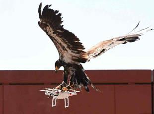 荷兰派老鹰抓非法无人机 效率颇佳