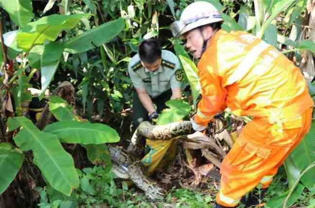 50斤巨蟒闯入果园偷吃鸡 消防官兵徒手捕获