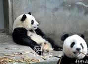 人太多 熊猫基地变'人类基地'