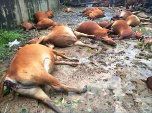 台风莎莉嘉袭击海南 农户31头牛被电死