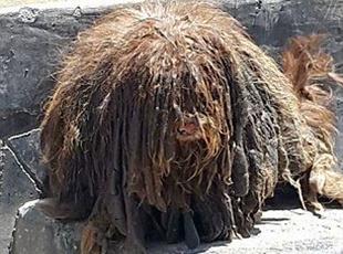 """流浪小狗长成""""一堆草"""" 剪掉的毛发竟有2公斤"""