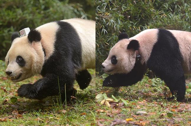 中国首次同时放归两只雌性大熊猫[组图]