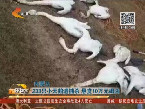 内蒙古:233只小天鹅遭捕杀 悬赏10万元缉凶