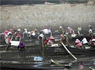 莆田秋收季 上千渔民采收紫菜