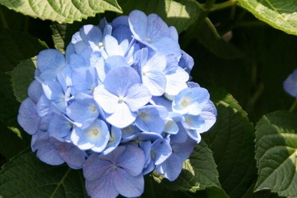 八仙花(绣球花)虫害防治