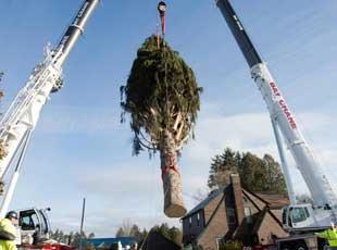 28米高挪威云杉被选为洛克菲勒中心圣诞树