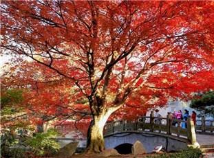 江西庐山红叶灿若朝霞 渐入观赏佳期