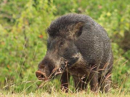 江西:野猪闯进小区 上演