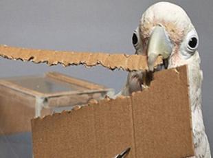 叹为观止!鹦鹉也会制作工具获取食物