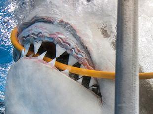 惊险!墨西哥大白鲨咬断潜水员氧气管